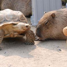 Elas adoram a companhia de tartarugas.   18 fotos de capivaras sendo muito amigáveis