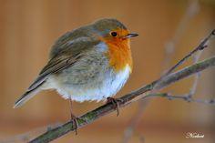***** le rouge - gorge familier ( Erithacus Rubecula ) ***** - le Chien Vert