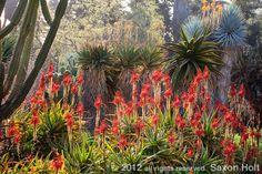 Aloe backlit in the Desert Garden at The Huntington Garden