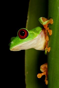 I was sorting through some of my images this evening and bumped into this portrait of a Red-Eyed Tree Frog I photographed in Panama last year, thought I'd share. Tree Frog Tattoos, Baby Animals, Cute Animals, Wild Animals, Red Eyed Tree Frog, Cute Frogs, Wild Creatures, Frog And Toad, Reptiles And Amphibians