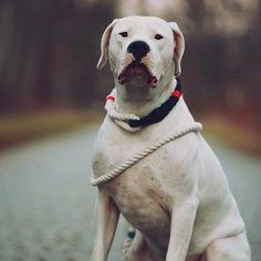 Handsome Cooper modeling his Rig and Leash  #dogcrush #lassoambassador #itslasso #lasso #lassodogs #lassolove #ropecollar    #dogoargentino #argentiniandogo #ropecollar #dogcollar #qualitycollar #ropeleash #dogleash #qualityleash #shopifypicks #dogs #instadog #weeklyfluff #dogsofinstagram #dogdailyfeaturesss #dogs_of_instagram #doglover #dogoftheday #instagramdogs #buzzfeed #buzzfeedanimals #huffpost by lassodogs