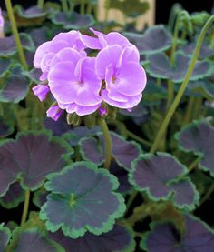 Bulk Geranium Seeds 100 Flower Seeds Geranium Cola by nurseryseedsThis is for 100 geranium seeds it is the Cola series this series the Cola series has dark color leaves with green outside edges on them. This geranium will geranium seeds this is Geranium Plant, Geranium Flower, Exotic Flowers, Purple Flowers, Beautiful Flowers, Home Garden Plants, Garden Trees, Snake Plant Care, Sun Plants