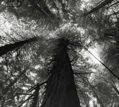 Monumental Portraits Of Ancient Trees Reveal Some Of Earths Oldest Living Wonders  Kings Canyon Sequoias