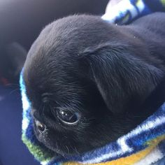 Pug puppy Friday is brought to you by @da_frank_n_beans Want to be featured on our Instagram? Tag your photos with #thepugdiary for your chance to be featured.