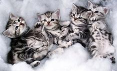 American Shorthair Cat and Kittens  #American #Shorthair #Cat #Kittens #Breed - Tap the link now to see all of our cool cat collections!