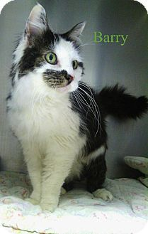Parma, OH - Domestic Longhair. Meet Barry ~ front declawed, a cat for adoption. Domestic Longhair Color: Black & White Or Tuxedo Age: Senior Sex: Male ID#: 6766967 Hair: Long http://www.adoptapet.com/pet/10528337-parma-ohio-cat
