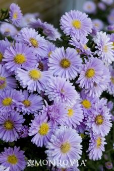 """Farmington Michaelmas Daisy-Aster novi-belgii 'Baldco' P.P.A.F. ~ Clusters of old fashioned double lilac blooms cover the upright, mounding plant early in the season, and eventually appear along horizontally spreading branches as the season progresses. Mass in perennial borders for long-lasting color. Zones 3-9. Full sun. Average landscape size:Fast growing to 18"""" tall, 24"""" wide."""
