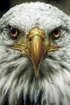 Photo Aigle, Eagle Symbolism, Eagle Art, Eagle Totem, American Freedom, Eagle American, American Pride, Birds Of Prey, All Birds