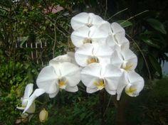 Ikhwati Hanafiah: Bunga Anggrek bulan di taman rumah bibiku