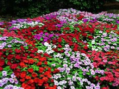 1,000 Impatiens Seeds Accent Premium Mix Flower Seeds BULK SEEDS #ImpatiensSeeds