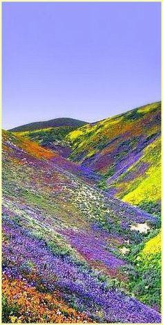 Himalayas flower bloom, Tibet