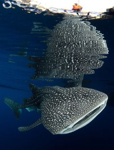 Whale sharks (Rhincodon typus) gather under fishing platforms to feed from fishermens nets, Papua, Indonesia Ocean Creatures, Weird Creatures, Whale Shark Diving, Humpback Whale, Scuba Travel, Life Under The Sea, Salt Water Fish, Freshwater Aquarium, Aquarium Fish