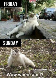 Hungover cat meme