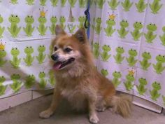 Animal ID: A267456Room No.: WD51  Hi, I am an approximately 2 year old brown and yellow male Pomeranian. I am fearful and I have not been tested for heartworms. I weigh approximately 14 pounds. I have been at Orange County Animal Services since Sunday, June 16, 2013. MY DUE OUT DATE IS SATURDAY, JUNE 22, 2013. If you are looking for me, please come to Orange County Animal Services at 2769 Conroy Rd., Orlando, FL. The phone number is (407)254-9140