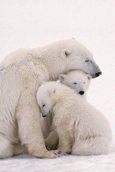 Polar Bear Mom & Cubs