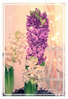purple and white hyacinths
