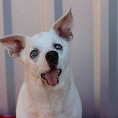Meade Canine is an established on both coasts placing younger dogs in New England and seniors in California. We take in dogs on euthanasia lists or who have no where to turn. Chihuahuas For Adoption, Pet Adoption, Shelter Dogs, Rescue Dogs, Hospice, Animal Welfare, The Fosters, French Bulldog, Safari