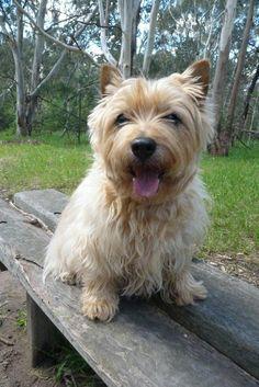 Cairn Terrier (Scotland)