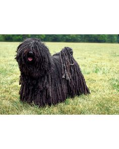 My favorite breed of dog - the Hungarian Puli!