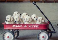 White Golden Retriever Puppies for Sale: Choosing a Healthy Pup - #GoldenRetrievers #Puppies for Sale!