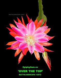 Two Epiphyllum, Hybrid, Cutting, OVER THE TOP, Orchid Cactus, Jungle Cactus