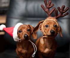 #Christmas #photography #Santa #dogs #Dachshunds ToniK Joyeux Noël Christmas pets