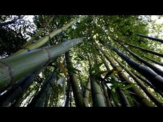 This is my favorite sound in all of wild nature...or in this case semi-wild nature...bamboo in the wind. Recommend you listen with headphones on. And sorry t...