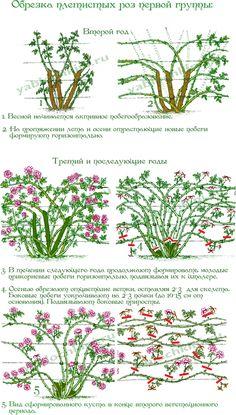 обрезка плетистой розы схема