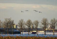 Natuurfoto Oost-Groningen: Zwanen in de Gaast met op de achtergrond Winschote...