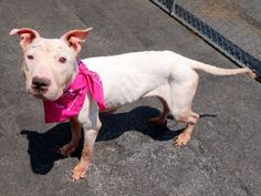 GONE 7/7/2015 --- SAFE 7-5-2015 by Rescue Dogs Rock NYC --- SUPER URGENT Manhattan Center KATE – A1042146 FEMALE, WHITE, PIT BULL MIX, 7 yrs STRAY – STRAY WAIT, NO HOLD Reason STRAY Intake condition UNSPECIFIE Intake Date 06/30/2015