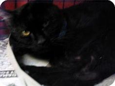 Philadelphia, PA - Domestic Shorthair. Meet Burdon, a cat for adoption. http://www.adoptapet.com/pet/14525249-philadelphia-pennsylvania-cat