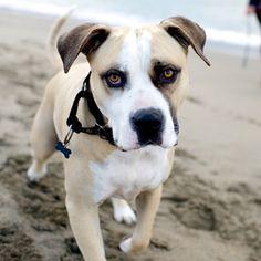 Thedogist.com: Lenny, American Bulldog (7 y/o), Crissy Field Beach, San Francisco, CA