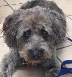 1/ 7   ***SENIOR***   Petango.com – Meet Chip, a 12 years 8 months Poodle, Miniature / Mix available for adoption in KANSAS CITY, MO Contact Information Address  9300 NW 97th Terrace , Unit, KANSAS CITY, MO, 64153  Phone  (816) 298-9997  Website  http://www.DogsbyDebin.com  Email  dogsbydebin@gmail.com