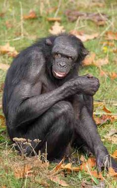 BONOBO monkeys are disgusting, according to new research.    Zoologists studying the so-called 'erotic apes' in the Congo have found their relentless perverted sex antics to be unbelievably repulsive