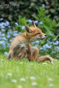 Red Fox Cub by Penny'sEverythingNature (Badger Woman) - Penny Chatfield Baby Foxes, Arctic Circle, Red Fox, Badger, North Africa, Central America, Good Old, Mammals, Little Ones