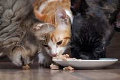Meat-eating cats and dogs have a big environmental impact, but making small changes to your pet's habits can help restore the balance. Cute Animals Puppies, Baby Puppies, Cute Baby Animals, Pet Dogs, Dog Cat, Pets, Funny Cat Videos, Funny Cats, Animal Eating