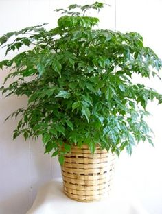 China Doll house plant // Radermachera sinica // How to care for it: http://www.gardeningknowhow.com/houseplants/china-doll/radermachera-sinica.htm