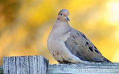 Close up of a dove sitting on wooden fence, golden background.