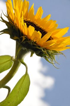 The 20 Most Beautiful Flowers In The World | The Stuff Makes Me Happy Sunflower.