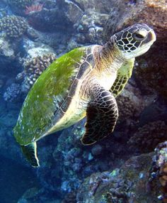 Turtle ~ Love the green home covering! Beautiful Creatures, Animals Beautiful, Cute Animals, Underwater Life, Underwater Photos, Cute Turtles, Sea Turtles, Turtle Time, Life Under The Sea