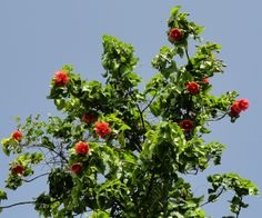 Thespesia grandiflora (árbol de Maga) Puerto Rico by Jardin Boricua, via Flickr