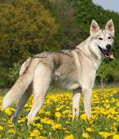 Tamaskan Dog. Get a Free Consultation for your #large #dog #breed from our Friends at Nature's Select http://naturalpetfooddelivery.com/nsd/usa/free-consultation/