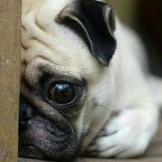 """""""I can't believe it's only Monday.   www.jointhepugs.com  #pug #pugpower #pugsnotdrugs #pugpuppy #puglove #cuteness #pugs #puglover"""