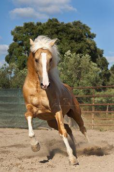 Palomino Lusitano stallion named 'Play in the Sun'.