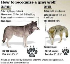 Wolf or Coyote Identification | DAILY FACT I LEARNED FROM THE TV MESSAGE BOARD! : Wolves back in ...