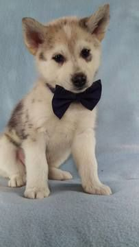 Pomsky-Siberian Husky Mix puppy for sale in LANCASTER, PA. ADN-72151 on PuppyFinder.com Gender: Male. Age: 6 Weeks Old