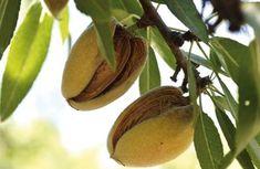 Všetko, čo potrebujete vedieť o pestovaní mandlí