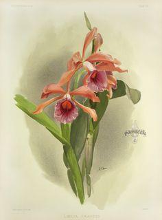Cattleya Lawrenceana from Reichenbachia Orchid Prints 1888