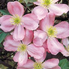 Clematis for fragrance lovers! Masses of rich vanilla scented blooms. Easy to grow! Clematis Plants, Clematis Vine, Garden Plants, Clematis Flower, Pink Flowers, Beautiful Flowers, Pink Dogwood, Clematis Montana, Plant Zones