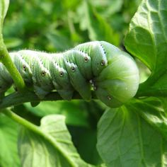 Hornworms can destroy a tomato plant over night.